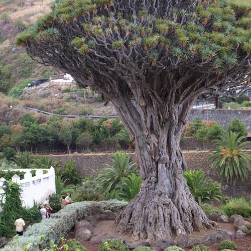 Nicholas Berwin - the dragon tree